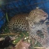 Penentuan Lokasi Pelepasliaran Macan Tutul yang Tertangkap Warga Ciamis